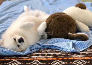 愛犬の寝顔です❤️の写真・画像素材[2335833]