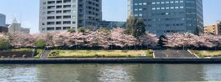 都市を背景にした川の向こうの桜の写真・画像素材[2344663]
