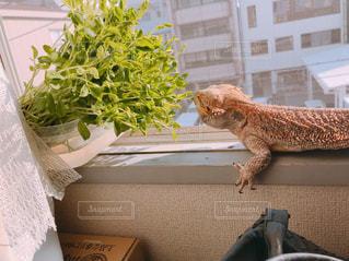 爬虫類のクローズアップの写真・画像素材[2336784]