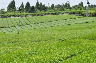 緑豊かな茶畑のクローズアップの写真・画像素材[2376709]