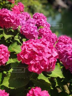 紫陽花の写真・画像素材[2337326]