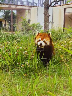 レッサーパンダの写真・画像素材[2337333]