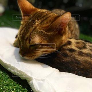 草の上に横たわる猫の写真・画像素材[2380495]