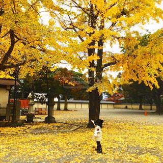 銀杏の木を見上げる子供の写真・画像素材[2388551]