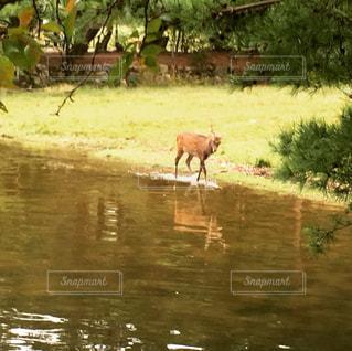 野生の鹿の写真・画像素材[2353565]