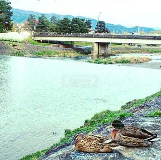 賀茂川べりの鴨の写真・画像素材[2363362]