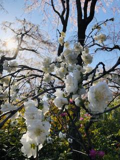 京都原谷苑の桜の写真・画像素材[3094102]