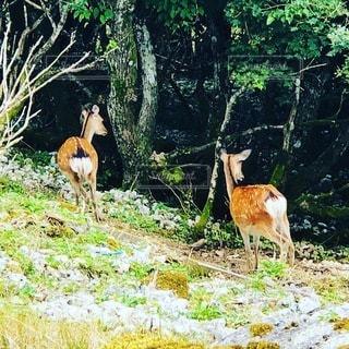伊吹山にて野生の鹿と遭遇の写真・画像素材[3611923]