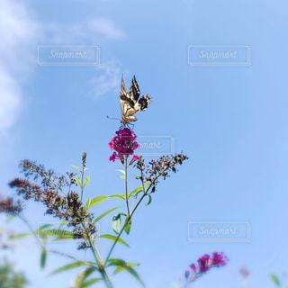 花に舞う蝶の写真・画像素材[2431007]