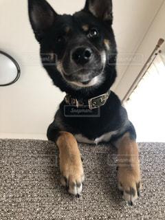 カメラ目線の犬の写真・画像素材[2339128]