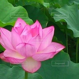 蓮の花の写真・画像素材[2340031]