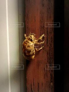 蝉の抜け殻の写真。の写真・画像素材[2340666]