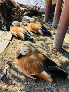 地面に横たわる鳥の写真・画像素材[2341395]