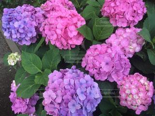 紫陽花の写真・画像素材[2342472]