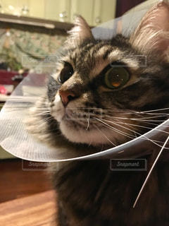 エリザベスカラーをつけた猫の写真・画像素材[2344712]