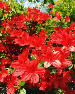 赤い花の写真・画像素材[2372917]