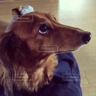 カメラを見ている犬の写真・画像素材[2373781]
