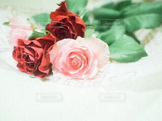 バラの花の写真・画像素材[3740544]