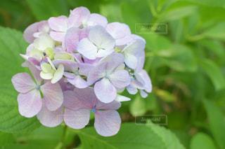 梅雨の日の紫陽花の写真・画像素材[2345075]