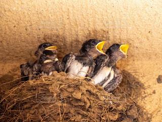 アピールする燕の雛の写真・画像素材[3674297]