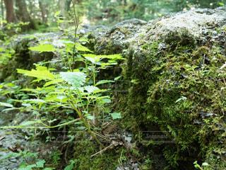 樹海の植物をクローズアップの写真・画像素材[3679362]