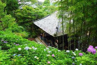 長谷寺の紫陽花の写真・画像素材[2345580]
