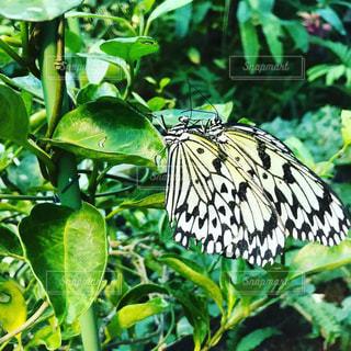 温室の蝶々の写真・画像素材[2345976]