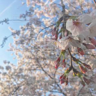 鶴舞公園の桜の写真・画像素材[2345988]