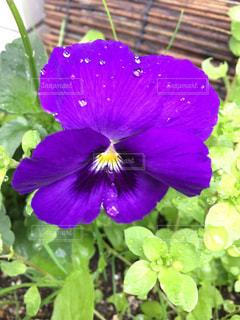 花の写真・画像素材[269330]