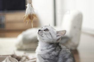 カメラを見ている猫の写真・画像素材[2354671]