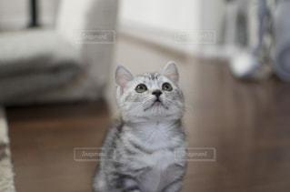カメラを見ている猫の写真・画像素材[2354675]