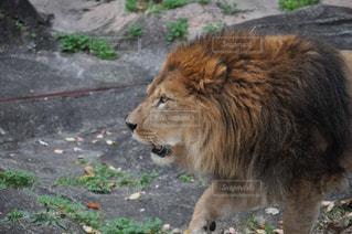 草の上に横たわるライオンの写真・画像素材[2354722]