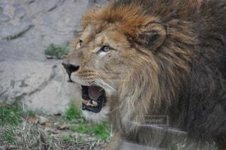 カメラを見ているライオンの写真・画像素材[2354723]