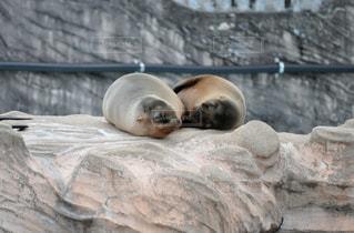 動物園の囲いの中のホッキョクグマの写真・画像素材[2354738]