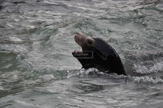 水の中を泳ぐヒグマの写真・画像素材[2354740]
