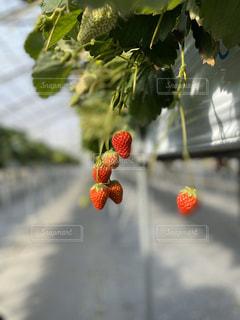 苺の写真・画像素材[2956664]