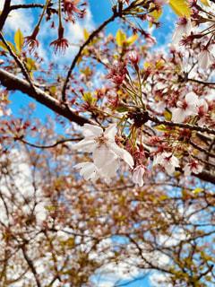 葉桜の写真・画像素材[3133390]