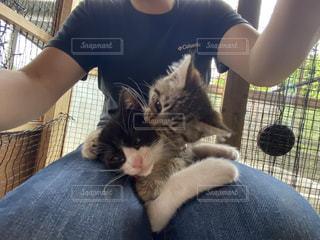 すぐに膝の上に登ってくる子猫達の写真・画像素材[3335434]