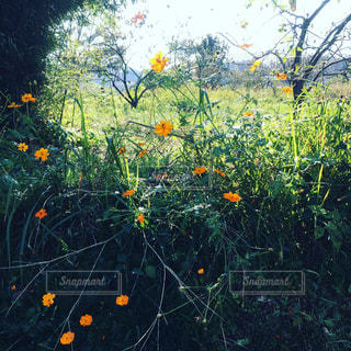 フィールド内の黄色の花の写真・画像素材[809847]
