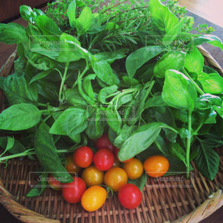 バジルとミニトマトの収穫の写真・画像素材[809849]
