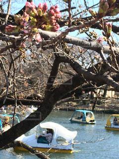 春の井の頭公園の写真・画像素材[3014776]