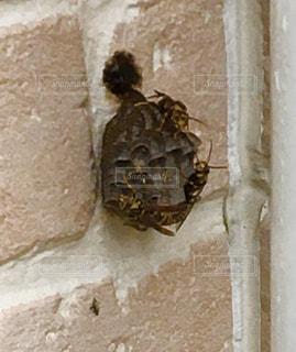 外壁に出来た、足長蜂の巣の写真・画像素材[3406297]