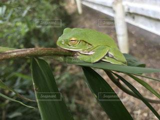 可愛いカエルの写真・画像素材[2350688]