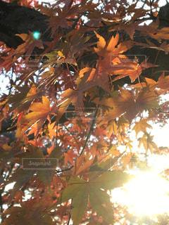 楓の木と太陽の写真・画像素材[2351515]