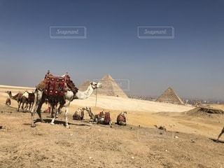 らくだとピラミッドの写真・画像素材[2356116]