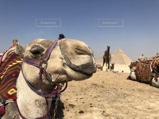 ラクダとピラミッドの写真・画像素材[2356118]