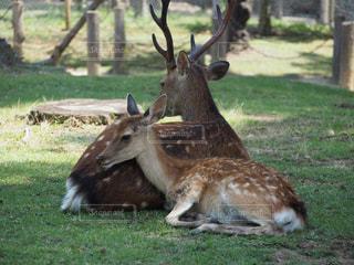 草の上に横たわる鹿の写真・画像素材[2359643]