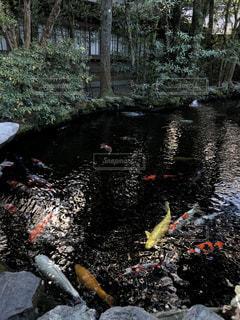 池の鯉の写真・画像素材[2373049]