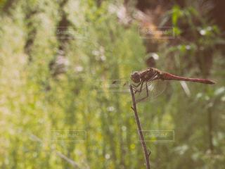 枝に止まるトンボの写真・画像素材[2380771]