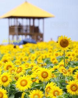 黄色い花の束の写真・画像素材[2353891]